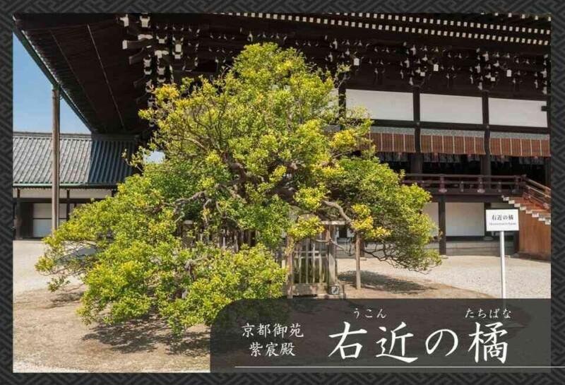 京都御苑 紫宸殿 右近の橘